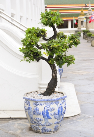 The Chinese bonsai tree in a pottery pot. photo