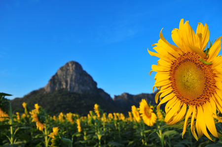 sunflower blooming mountain in Thailand