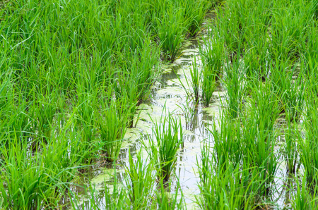 alga: green field rice and  alga in water. Stock Photo