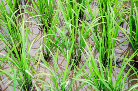 seeding: raw of organic rice in paddy.