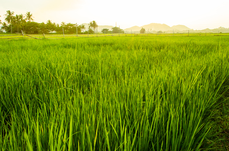 ricefield: green background of rice field.