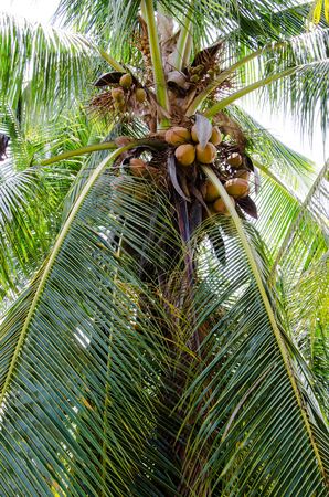 red  Coconut is yielding. Stock Photo