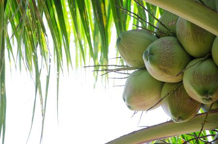 green coconut fruit on leaf.