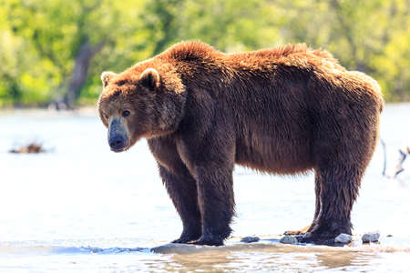 Brown bear (Ursus arctos beringianus) fishing on the Kurile Lake. Kamchatka Peninsula, Russia. 免版税图像
