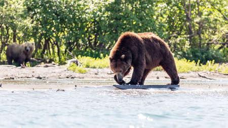 Brown bear (Ursus arctos beringianus) fishing in the Kurile lake, Kamchatka, Russia