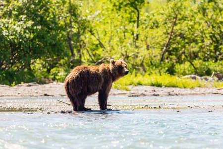 Brown bear (Ursus arctos beringianus) fishing in the river. Kamchatka, Russia