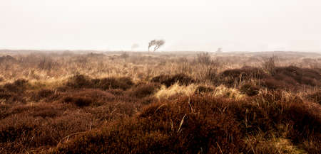 Bare lonely tree in the morning autumn mist. Texel Island, Netherlands 免版税图像