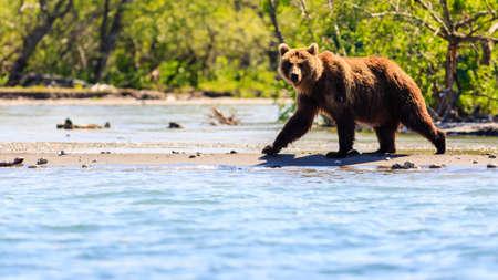 Brown bear (Ursus arctos beringianus) fishing on the Kurile Lake. Kamchatka Peninsula, Russia. 免版税图像 - 156991977