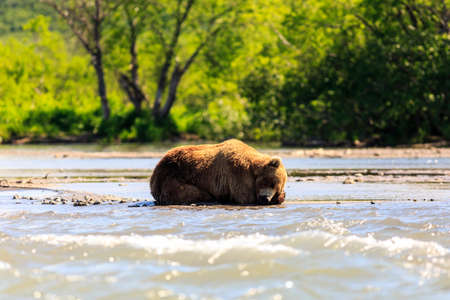 Brown bear (Ursus arctos beringianus) sleeping on the Kurile Lake. Kamchatka Peninsula, Russia.