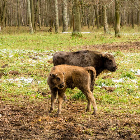 Aurochs, young animals in the forest. The European bison (Bison bonasus), also known as wisent or the European wood bison, Russia Reklamní fotografie