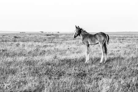 Cute little foal standing on the pasture, black and white image