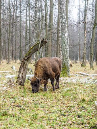 European bison (Bison bonasus), aurochs in the forest