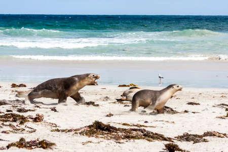 Enraged Australian Sea Lion running after another sea lion (Neophoca cinerea) on Kangaroo Island beach, South Australia, Seal bay