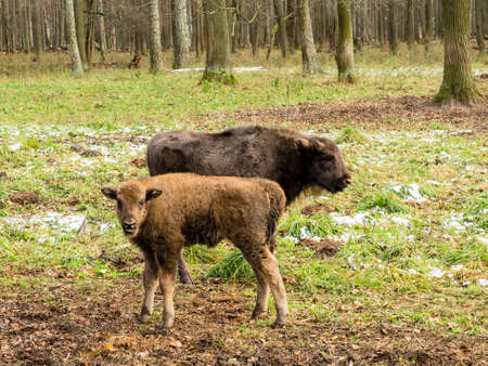 Aurochs, young animals in the forest. The European bison (Bison bonasus), also known as wisent or the European wood bison, Russia