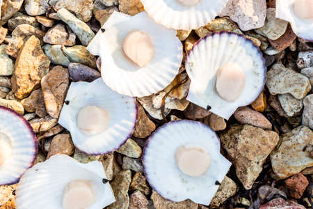 Alive Japanese scallops (Chlamys nipponensis) on the coast of Japan sea, Pacific ocean