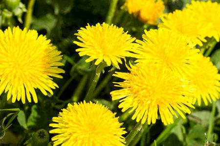 Field of yellow dandelions