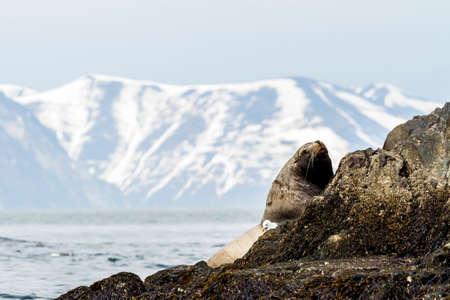 Sea lion (Eumetopias jubatus) on the rock, Russia, Kamchatka, nearby Cape Kekurny, Russian bay