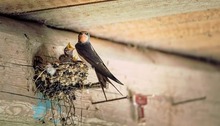 Bird family at nest. Feeding small birds, newborns. Swallow protecting newborn birds inside barn. Stock Photo