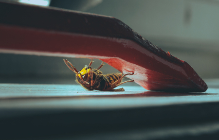 Giant wasp hanging on a red crowbar. Colorful insect stack inside a room. Parts of body in high detail and interesting composition.