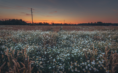 Crop field at colorful evening sunset. Wheat growing together with flowers. Orange sky with majestic clouds in countryside. Fresh air, clean environment, sustainable lifestyle.