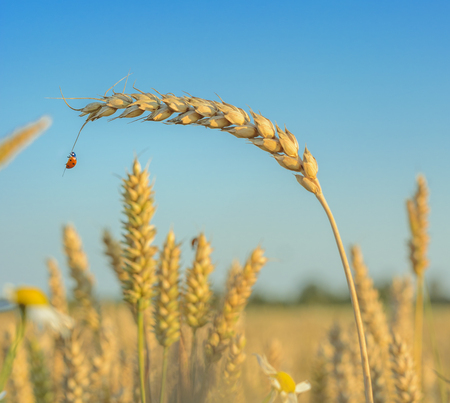 Ladybug, Ladybird hanging over a golden grain ear (botany). Light blue sky in background. Crop field in bloom with golden wheat flourishing. 免版税图像