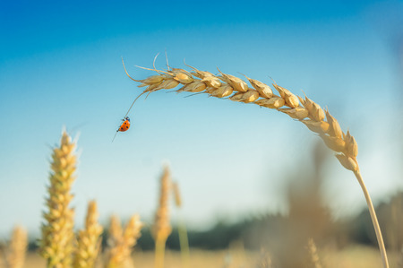 Ladybug, Ladybird hanging over a golden grain ear (botany). Light blue sky in background. Crop field in bloom with golden wheat flourishing. 스톡 콘텐츠