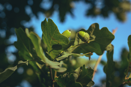 Green acorns hanging in an oak tree covered in green oak leaves and branches. Summer season in countryside. Fresh air, clean environment, sustainable lifestyle. 스톡 콘텐츠