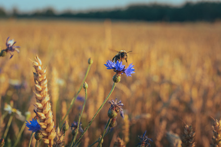 Bumblebee collecting nectar from a blue flower in the middle of wheat field.  Crop field in bloom with golden wheat flourishing. Light blue sky in background.