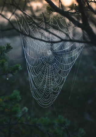 Early morning at the swamp with glowing spider web in sunrise at Kemeri national park. Iconic look over gigantic spider web in mellow, moody light.
