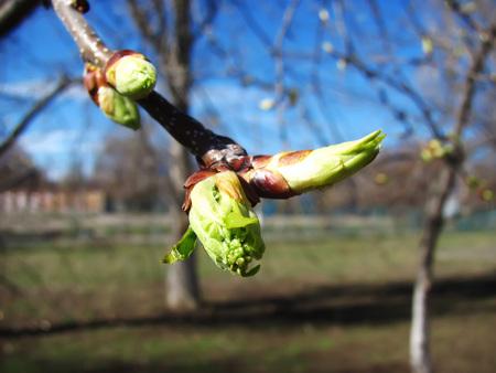 dismissed: springtime dismissed kidneys on a branch in the gargen Stock Photo