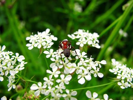 small garden insect ant enjoys white flower Stock Photo