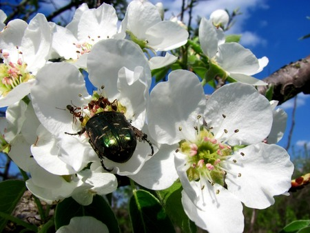 latent: Green may-bug on a pear flower in the spring together with ants