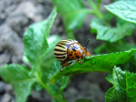 the potato bug eats young leaves of potatoes