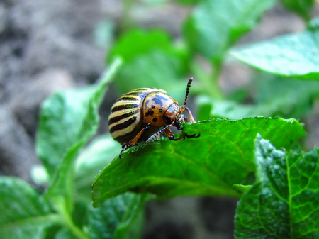 the potato bug eats young leaves of potatoes Banque d'images - 97590003
