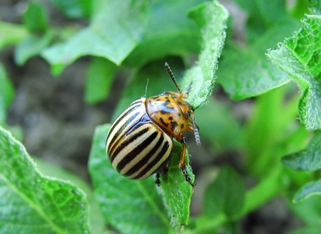 the potato bug eats young leaves of potatoes Banque d'images - 97582299