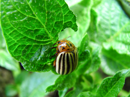 the potato bug eats young leaves of potatoes Banque d'images - 97548277