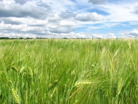 juicy green ears of wheat grow against the background of the blue sky with clouds up