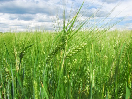 juicy young green ears of wheat grow against the background of the blue sky with clouds up