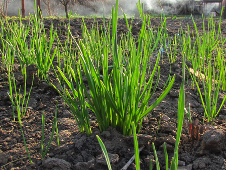 First young green grass makes its way out of the ground