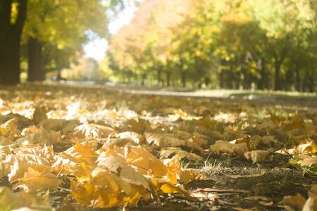 Fallen leaves is on the ground, leaf fall in a city square. Footpath.