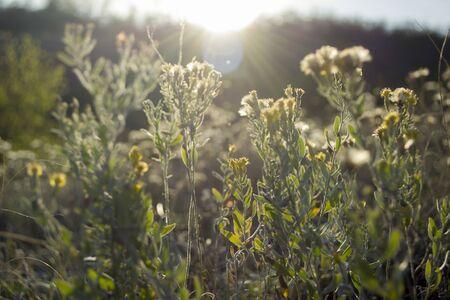 Tranquilo paisaje tranquilo de otoño con hierba seca de estepa y flores en primer plano y los rayos del sol poniente. Tema de otoño.