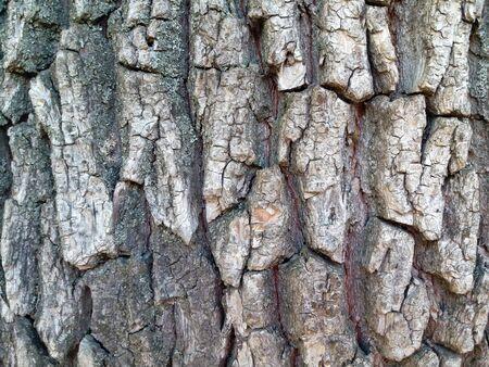 Oak bark texture close up. Cracked bark.