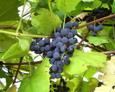 Black, ripe grapes and green leaves. photo