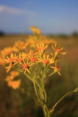 Field flower zveroboya photo