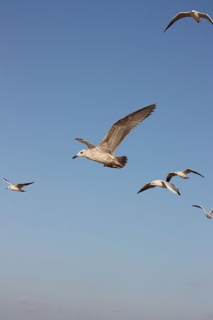 gull soaring against the backdrop of blue sky photo