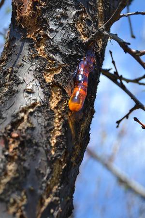 resin: Resina en el tronco Foto de archivo