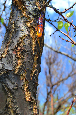 resin: Resin on tree