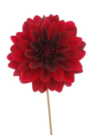 Red decorative dahlia flower bloom isolated on white.