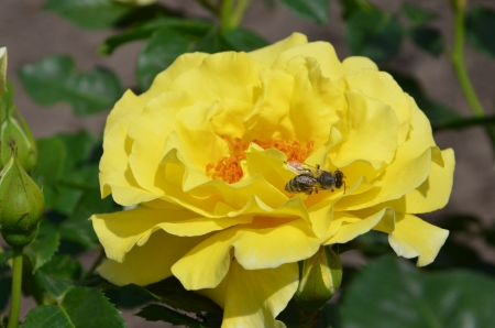 A single yellow rose with a bee photo