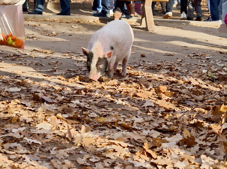 Pink pig in autumn park photo